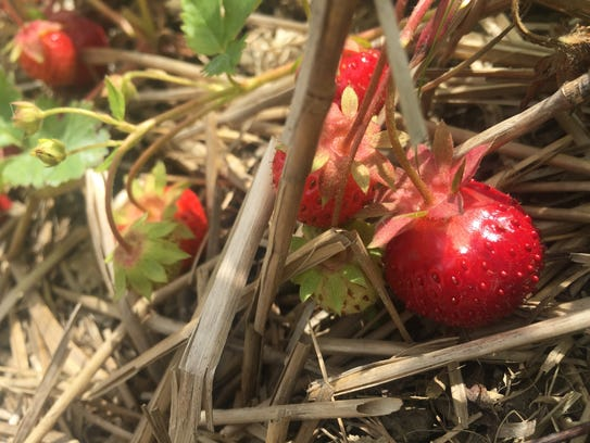 Apple Hills says this year's strawberry season has