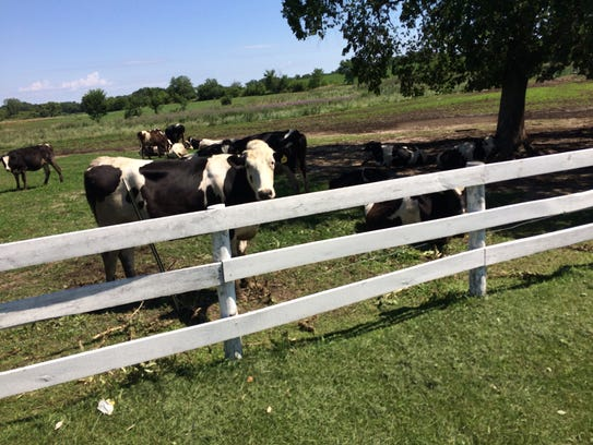 Curious cows in Walworth County.