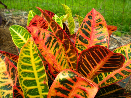 Croton is a good plant to add quick fall color to the