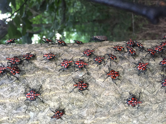 A cluster of immature spotted lanternflies.