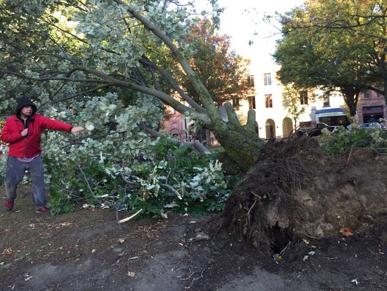 An uprooted tree downed by wind is trimmed for removal
