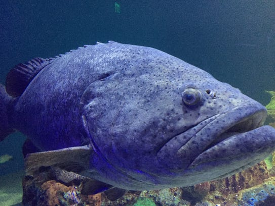 There are five goliath grouper at the WOW aquarium