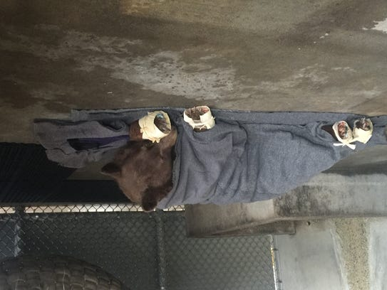 The first bear found with burned paws rests in her