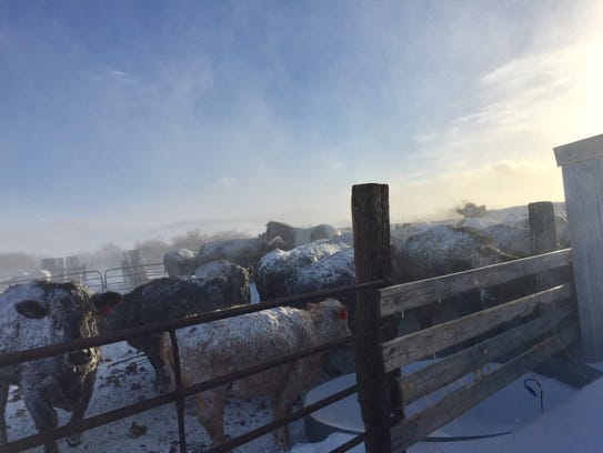 Ranchers say the cold and snow and wind is taking its