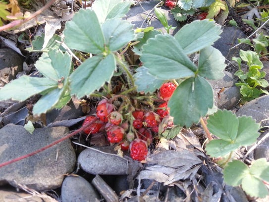 Woodland strawberry, a creeping perennial herb, is