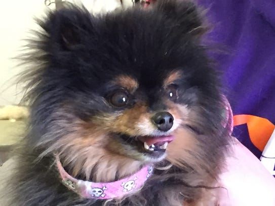 Pomeranian Gypsy just had a bath and haircut at Animal
