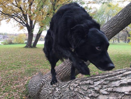 Border collie mix and good doggo Sunni Bear climbs