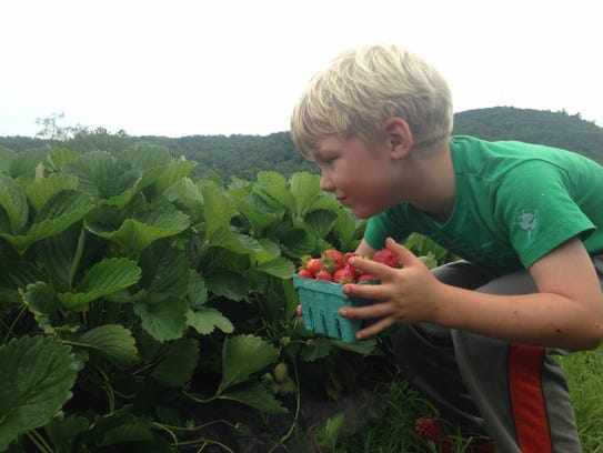 Strawberry picking at North River Farm.