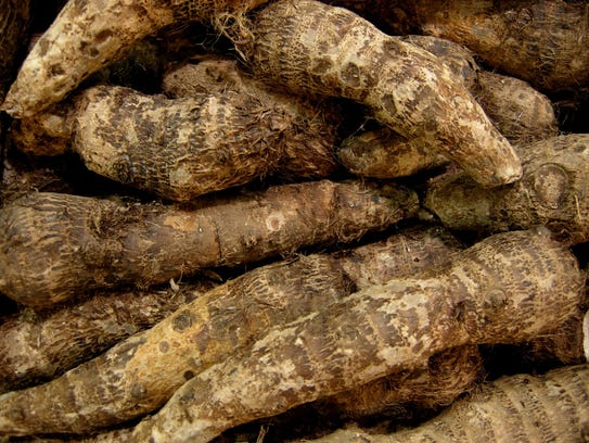 Malanga is the edible root of a tropic species.