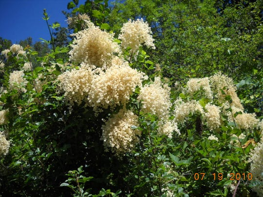 Oceanspray is a multi-stemmed shrub with large showy clusters of creamy white flowers.