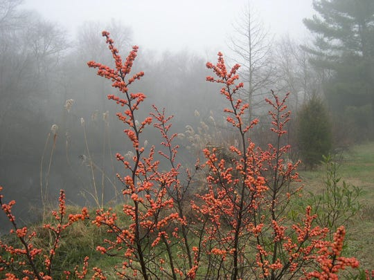 Winterberry provides rich color on a frosty day and its  berries last long into late winter.