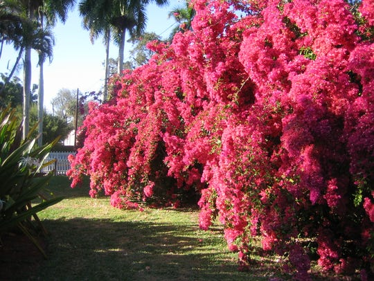 Today, the Bougainvillea is one of the most popular