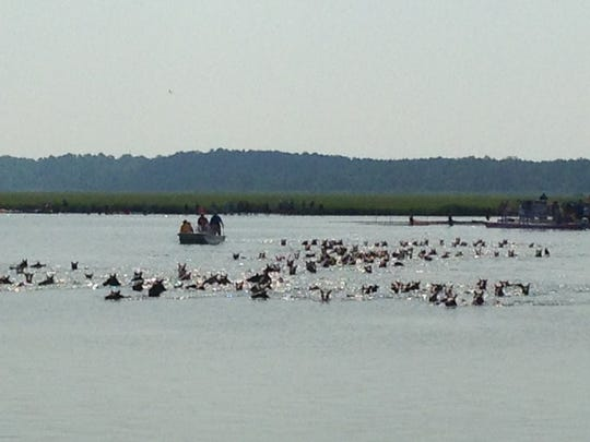 Chincoteague ponies make the swim from Assateague to Chincoteague in Virginia during the 91st Annual Pony Penning. The 2016 Pony Swim was held on Wednesday, July 27, 2016.