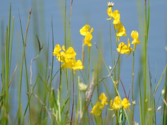 Below the sunny yellow flowers of horned bladderwort,