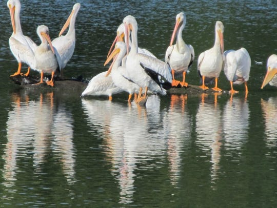 Some of the thousands of migrating white pelicans at