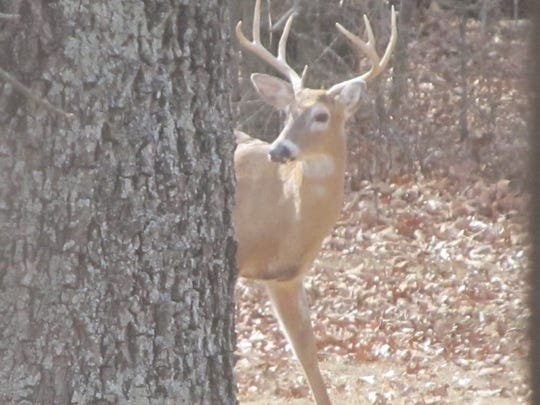 A whitetail buck peeks around a tree during the archery