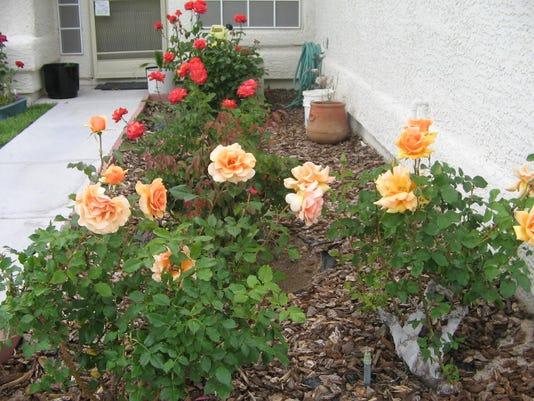 636117857092158028-roses-2-.JPG