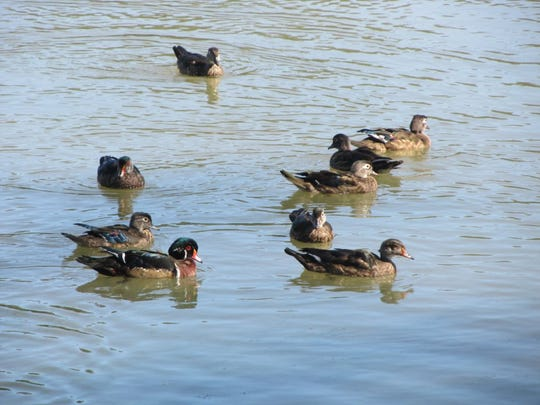A group of wood ducks prior to the opening day of the 2016 duck season.  The 2016 duck hunters may include three wood ducks in their daily limit of six ducks.