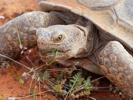 A desert tortoise in the Red Cliffs National Conservation