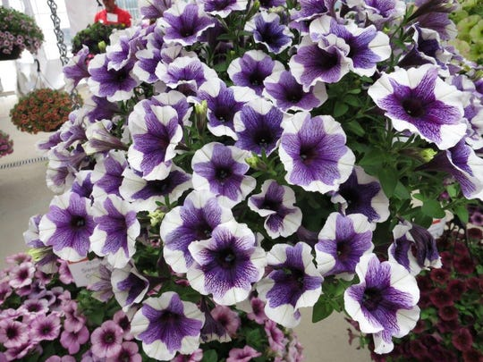 Petunia Sweetunia Purple Touch.