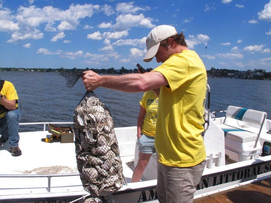 """In this June 2, 2017 photo, a volunteer """"oyster wrangler"""" with the American Littoral Society prepares to load bags of shells onto a boat in Red Bank, N.J. The group is hanging the shell bags off the docks of participating homeowners along the Navesink and Shrewsbury rivers to see if any oysters remain in the waterways in which they once were plentiful. Researchers hope free-floating young oysters will attach themselves to the shells and start growing, indicating how prevalent or scarce they are in the rivers. (AP Photo/Wayne Parry)"""