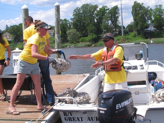 The American LIttoral Society is hanging the shell bags off the docks of participating homeowners along the Navesink and Shrewsbury rivers to see if any oysters remain in the waterways in which they once were plentiful.