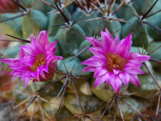 One of the largest families of cactus, varieties of