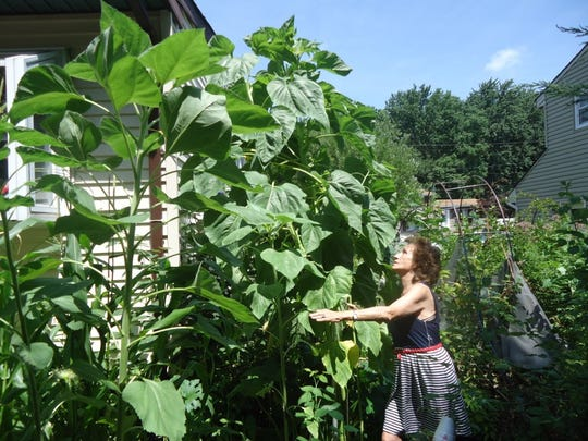 Henrietta Raymond of Old Bridge has a green thumb. This year, her garden has a 10-foot, 4-inch sunflower that is still growing. She also has a 30-pound pumpkin that's still growing.