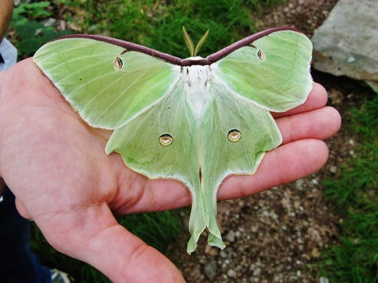 The Luna Moth is a frequent summer visitor from Florida