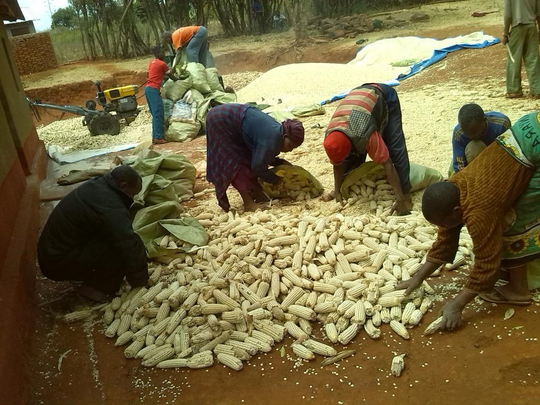 Shelling maize in Tanzania.  No rain falls during the dry period (May thru September) so corn is stored outside until it is shelled.  Notice the power unit in the background.  It is used to power the corn sheller.