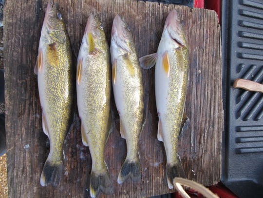 A limit of four walleye caught on Stockton Lake by