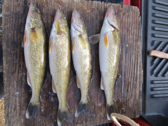 A limit of four walleye caught on Stockton Lake by Tom Robinson, Minneapolis, Minnesota, who said he likes to fish for walleye in Missouri while visiting relatives.