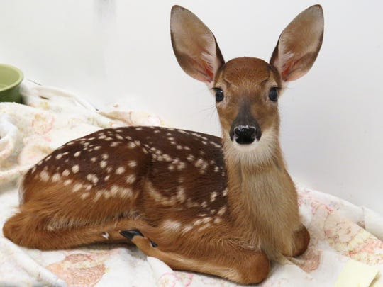 Fawn gets care at St. Francis Wildlife.