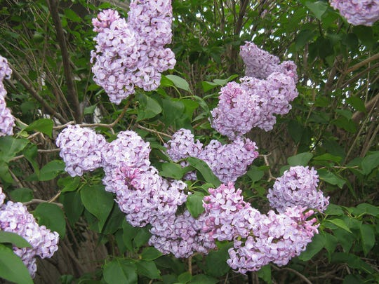 Shrubs that bloom in spring like lilacs should not be pruned until after the flowers fade.