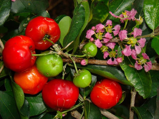 The Brevard Tropical Fruit Club will be holding its annual tree sale on Saturday, April 28th, held each year in the field next to the Melbourne Auditorium on Hibiscus.  photo of Barbados cherries and blossom taken by Asit Ghosh.