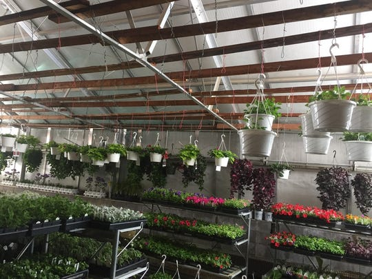 Bedding plants continue to thrive inside the greenhouse at Shawano High School despite snow blocking out sunlight on the walls and roof.