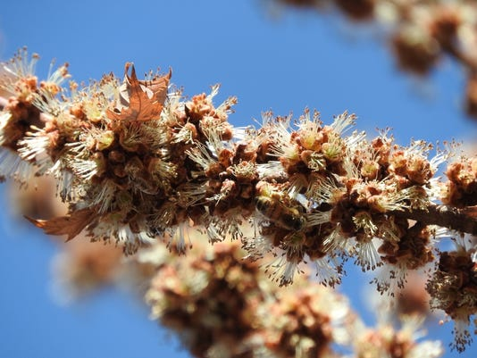 636607862446092587-Silver-maple-flowers-and-bee.jpg