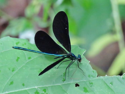 636664066707932792-ebony-jewelwing.jpg