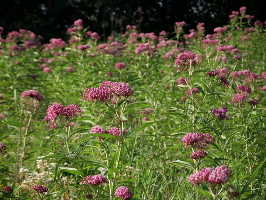 Milkweed, such as this planting of swamp (also called red) milkweed, is a top nectar source and host plant for monarch butterflies, as well as many other pollinating insects and birds.