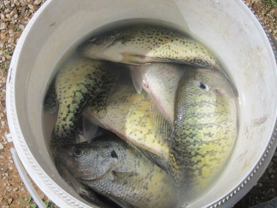 A bucket full of summer crappie.