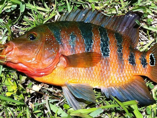 A nonnative Mayan cichlid showing the characteristic