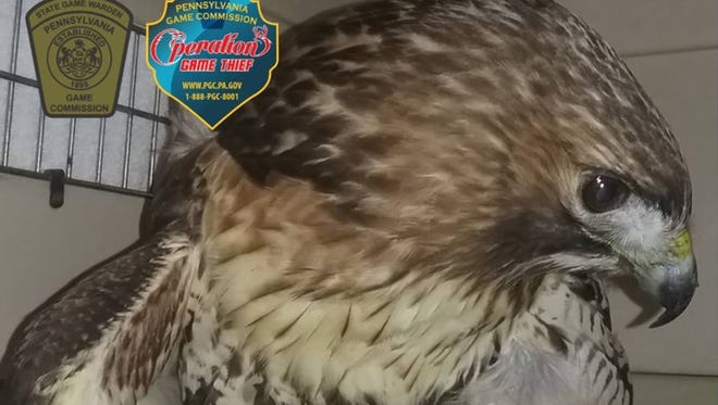 A red-tailed hawk shot near Raystown Lake in January 2018 is recovering.