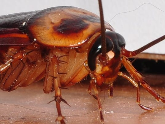 636611409990416544-Cockroach-close-up-right-front.jpg