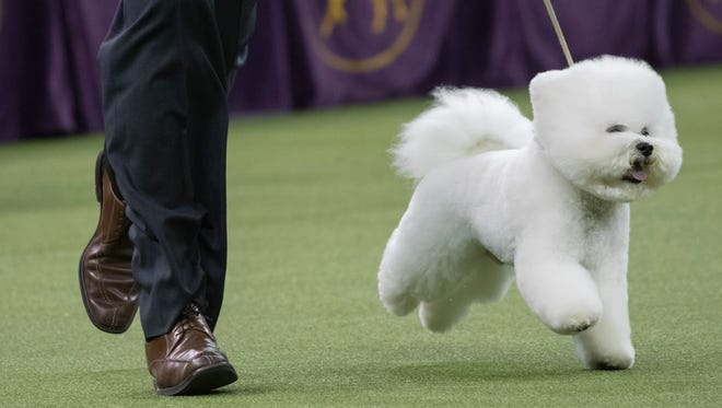 Handler Bill McFadden shows Flynn, a bichon frise, in the best in show competition during the 142nd Westminster Kennel Club Dog Show, Tuesday, Feb. 13, 2018, at Madison Square Garden in New York. Flynn won best in show.