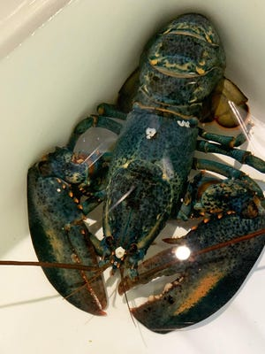 A rare blue American lobster has been donated to the Akron Zoo by the Red Lobster restaurant in Cuyahoga Falls.