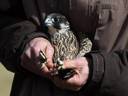 See some of New Jersey's birds of prey, like this peregrine falcon, up close and personal on Tuesday at the Roxbury Public Library.