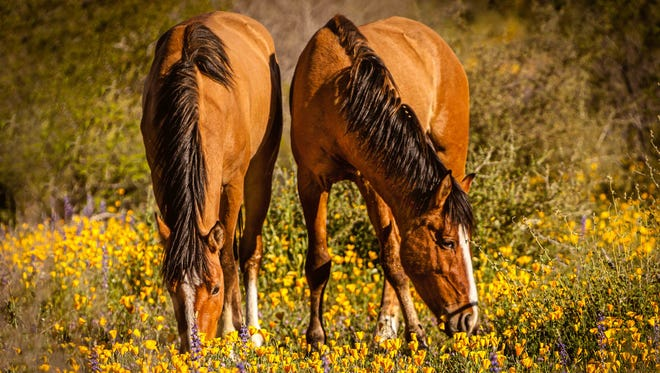 Horses graze in a colorful meadow along the Bush Highway.