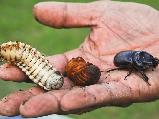 This file photo shows the grub stage of a coconut rhinoceros beetle, a beetle in its pupa stage and an adult rhino beetle.