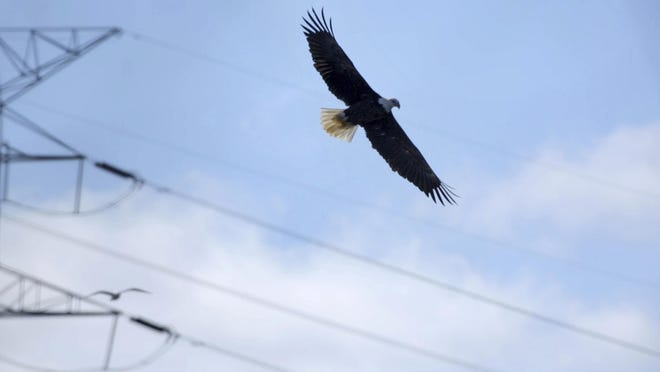A bald eagle flies near DTE Energy's Monroe Power Plant in Monroe on Friday, January 30, 2015. America's iconic national bird, the bald eagle, has made an impressive comeback from its days as an endangered species. But its leading threats remain rooted in human activity, the most comprehensive study ever of bald eagle mortality in Michigan finds.