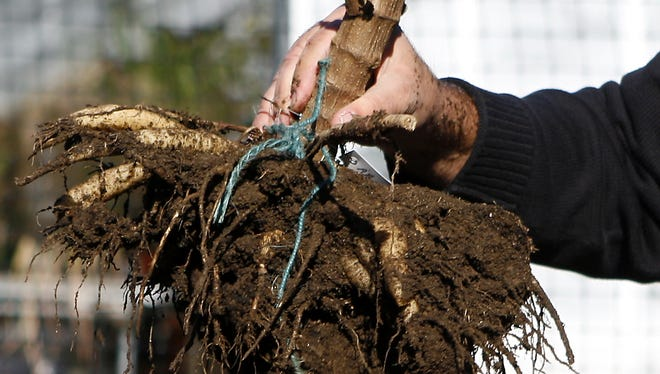 Ed Bonci holds the dug-out roots of a dahlia plant at Hart's Brook Park and Preserve Oct. 30,  2006.  Once the plant is out of the ground it is important to clean off the dirt before storing it for winter.